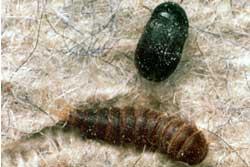 black-carp-beetle-small